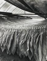 Tobacco Drying, Iwate-Ken, Linda Butler, gelatin silver print