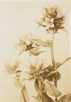 Bell Flower, Richard Tepe, vintage gelatin print