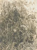 Broomrape, Richard Tepe, vintage gelatin print