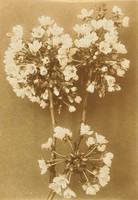 Maycherries in Bloom, Richard Tepe, vintage gelatin print