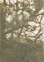 Mother Nurturing Her Young in Pine Tree, Richard Tepe, vintage gelatin print