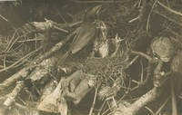 Blackbird in Nest with Young, Richard Tepe, vintage gelatin print