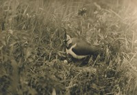 Lapwing in Nest with Her Young on a Reed Flat, Richard Tepe, vintage gelatin print