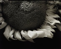 This black and white photograph shows the lower two-thirds of a sunflower, photographed from a close distance. It occupies the upper three-quarters of the composition, with a black background below.
