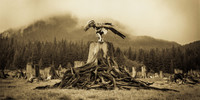 Sepia toned image of man wearing raven mask and regalia crouched on massive tree stump with tangle of visible roots, forested landscape and fog in background