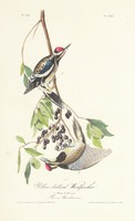 Yellow-bellied Woodpecker, John James Audubon, lithography with watercolor (hand coloring)