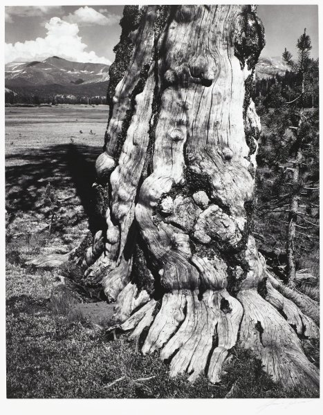 This black and white photograph shows the gnarled base of a tree trunk in the foreground of the image, extending to the upper edge of the sheet. Beyond the tree trunk is the tree's shadow in the left center of the image, another tree at the right center, and the rising peaks of mountains in the distance.