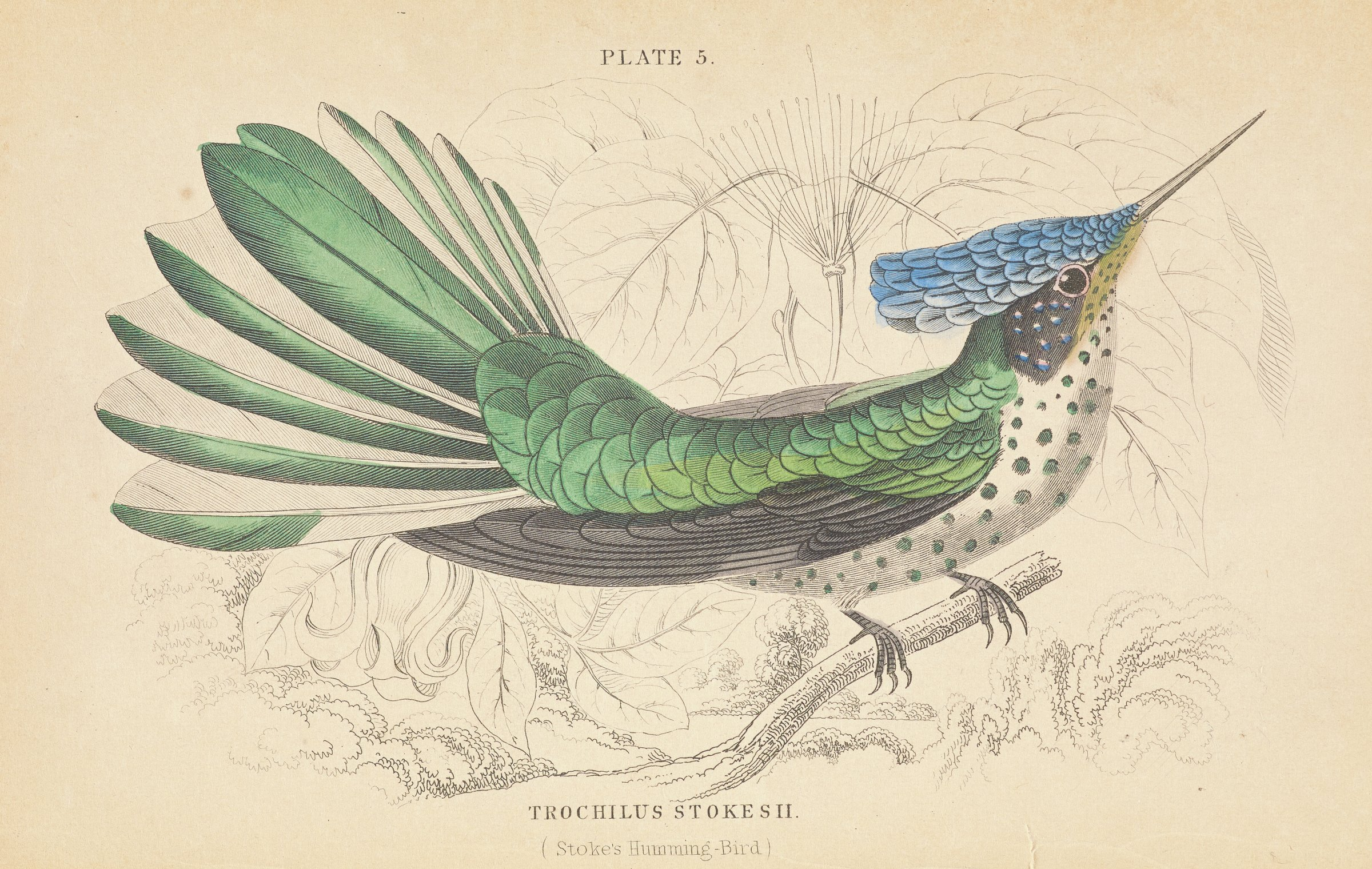 A green, blue, white, and black bird with a long, thin beak stands on a tree branch. The belly and face of the bird are spotted. The background contains uncolored plant life.