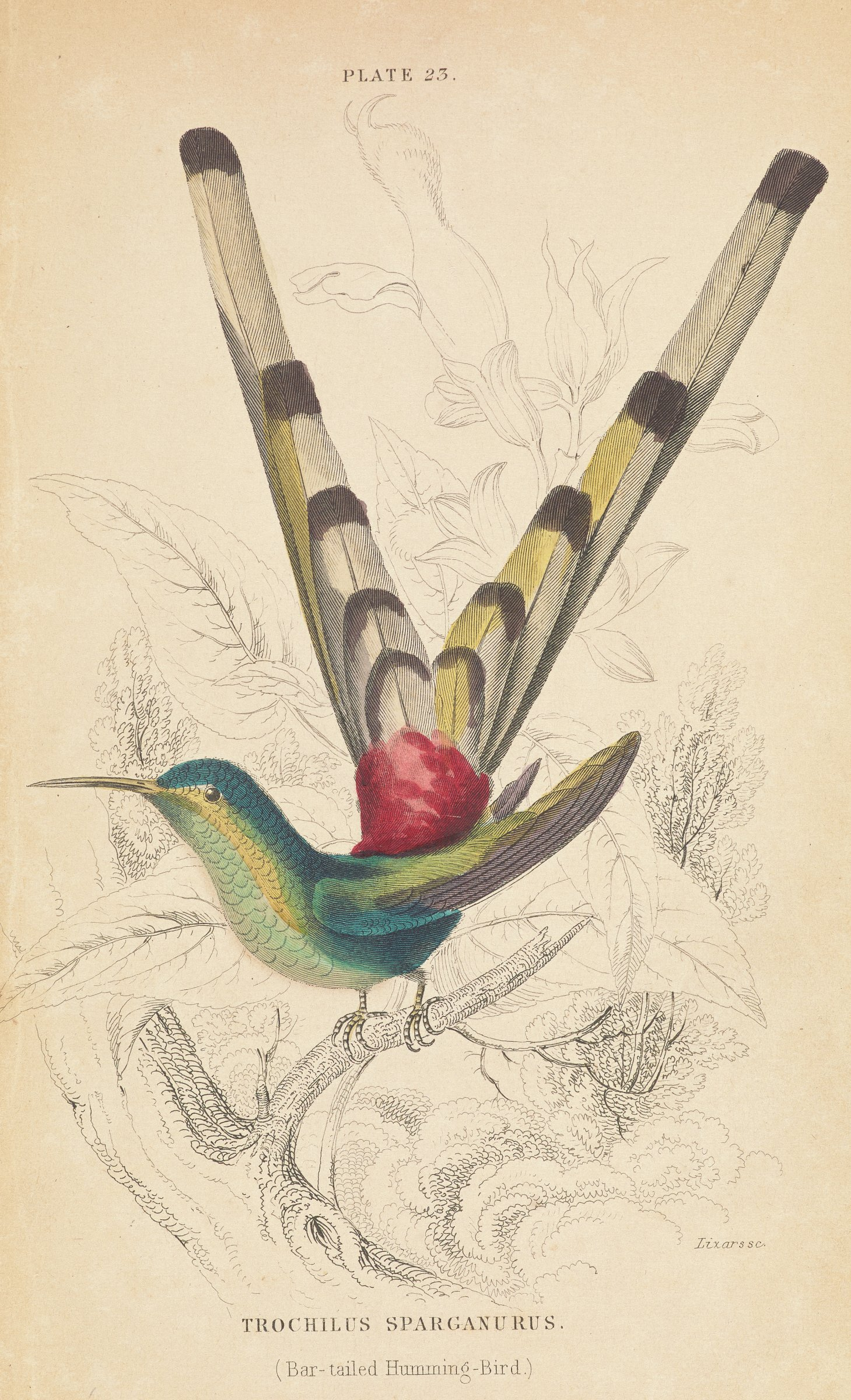 A hummingbird with a long v-shaped tail stands on a tree branch. Uncolored plant life is depicted behind it.