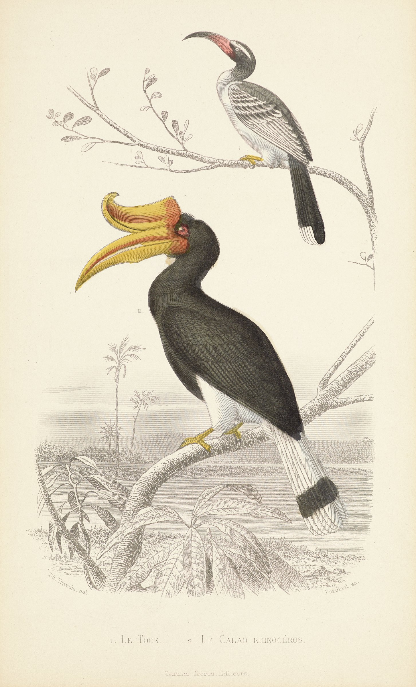 Two hand-colored birds stand on an uncolored tree limb.The upper bird has black and white feathers with a thin red and black beak. The lower bird has black and white feathers with a large yellow and red beak. Above its beak is a yellow and red horn that curves upwards.