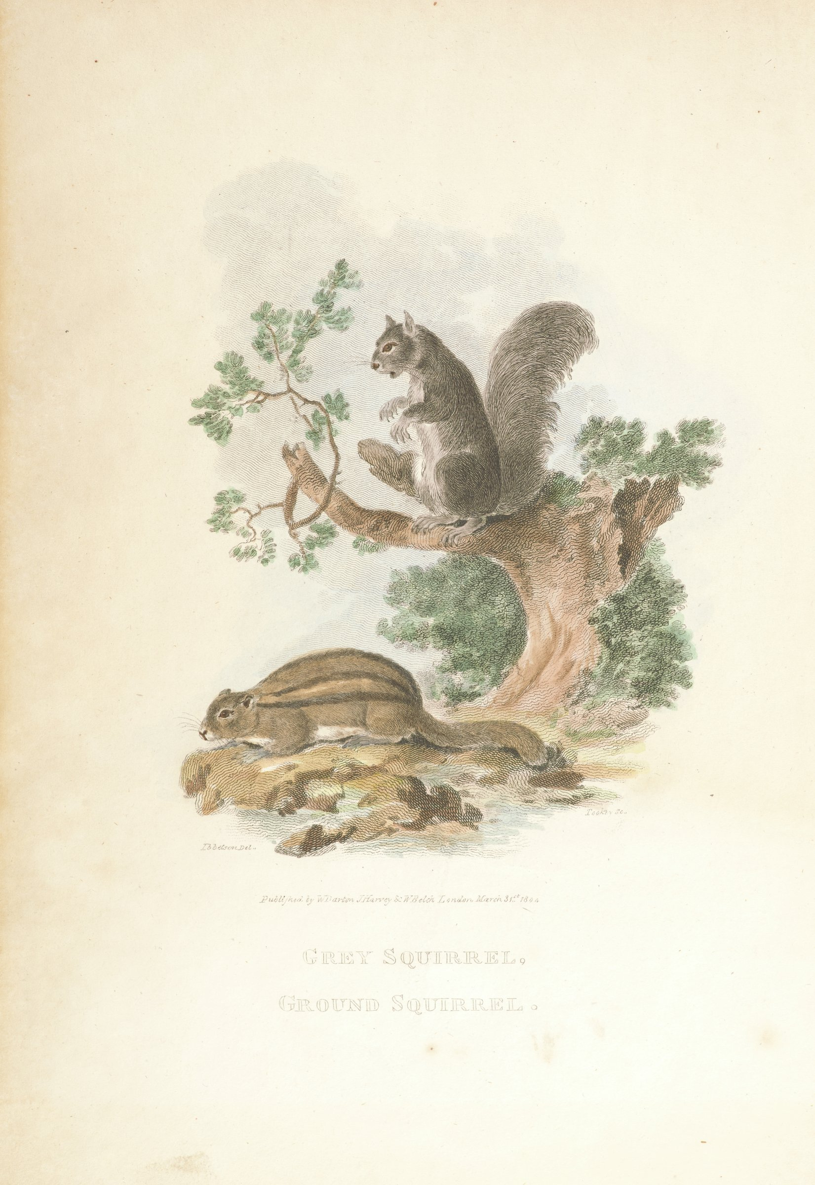 Grey Squirrel / Ground Squirrel, from John A. Church's A Cabinet of Quadrupeds, After Julius-Caesar Ibbetson, Engraved by James Tookey, hand-colored engraving
