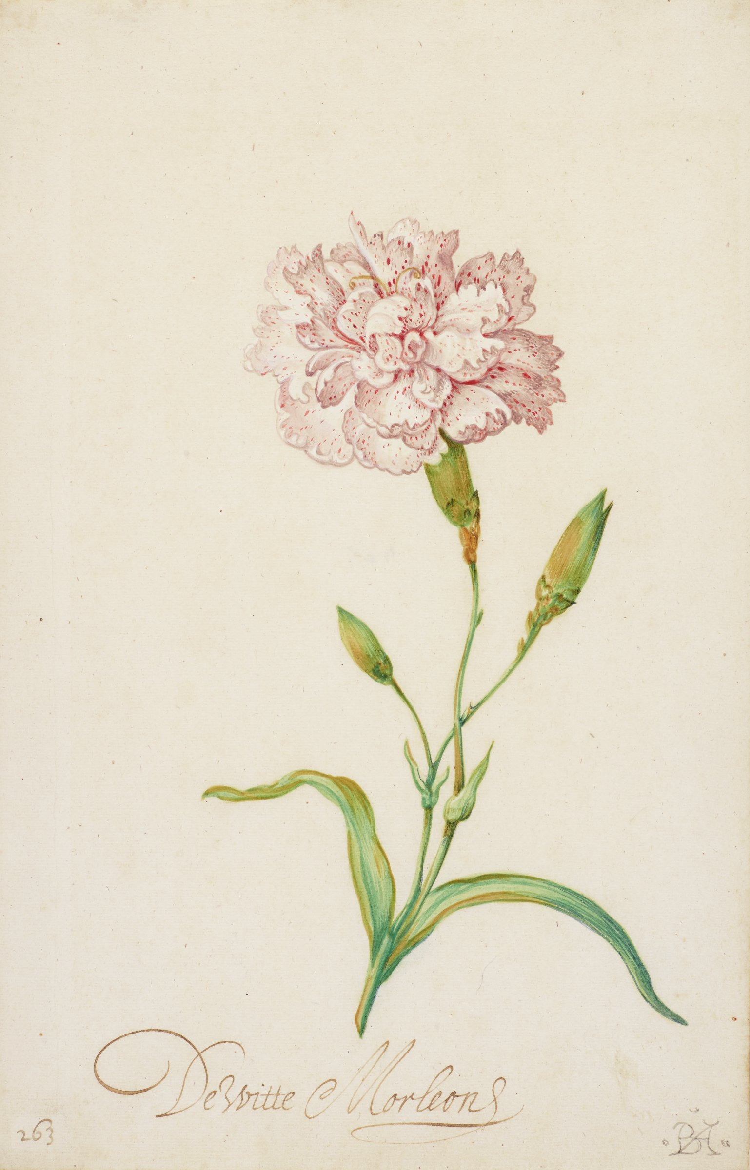 Plant with single flower; carnation is white with pale shades of pink and darker pink spots. Two additional stems with closed buds.