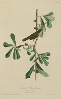 A bird characterized by black feathers on its back, yellow feathers on its chest, and white feathers on its stomach stands on a branch containing oblong leaves and acorns.