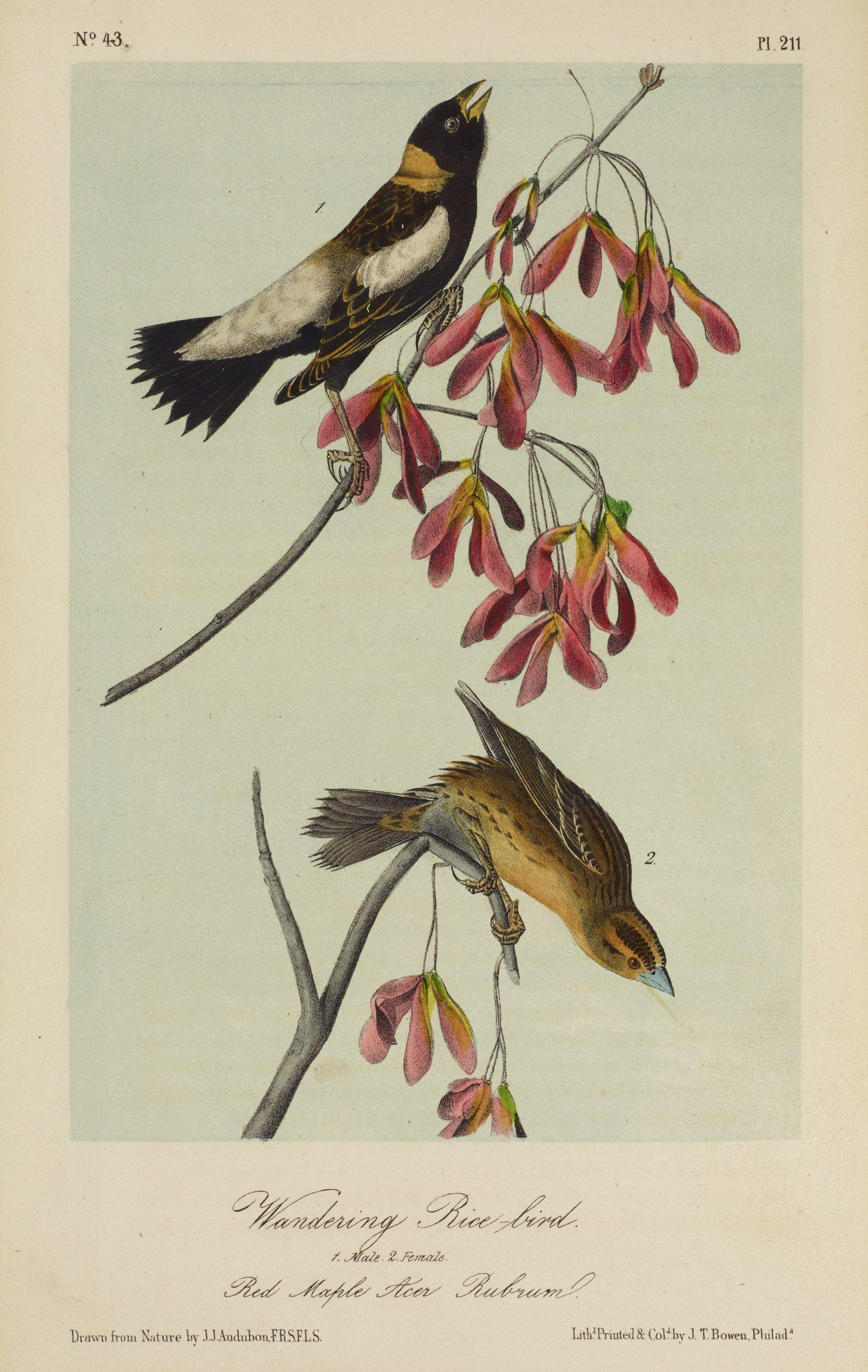 Wandering Rice-bird, John James Audubon, Printed by John T. Bowen, Philadelphia, Pennsylvania, lithography with watercolor (hand coloring)