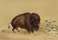 Wounded Buffalo Bull, George Catlin, lithograph