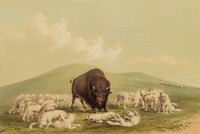 Buffalo Hunt, White Wolves Attacking a Buffalo Bull, George Catlin, lithograph