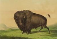 Buffalo Bull, Grazing, George Catlin, lithograph