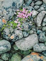 Pinks On Glacial Moraine -- South Coast, Eliot Porter, dye-transfer print