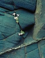 White Flowers In Black Ash Cliff --Breidhidalur, Eliot Porter, dye-transfer print