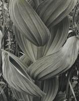 False Hellebore, Alma Lavenson, gelatin silver print