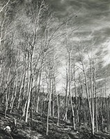 This black-and-white image shows a grove of Aspen trees.