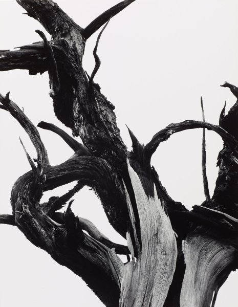 This black and white photograph shows a leafless tree where the trunk divides into branches against a white background. The tree limbs twist and curl, extending beyond the left, right, and top of the image field.