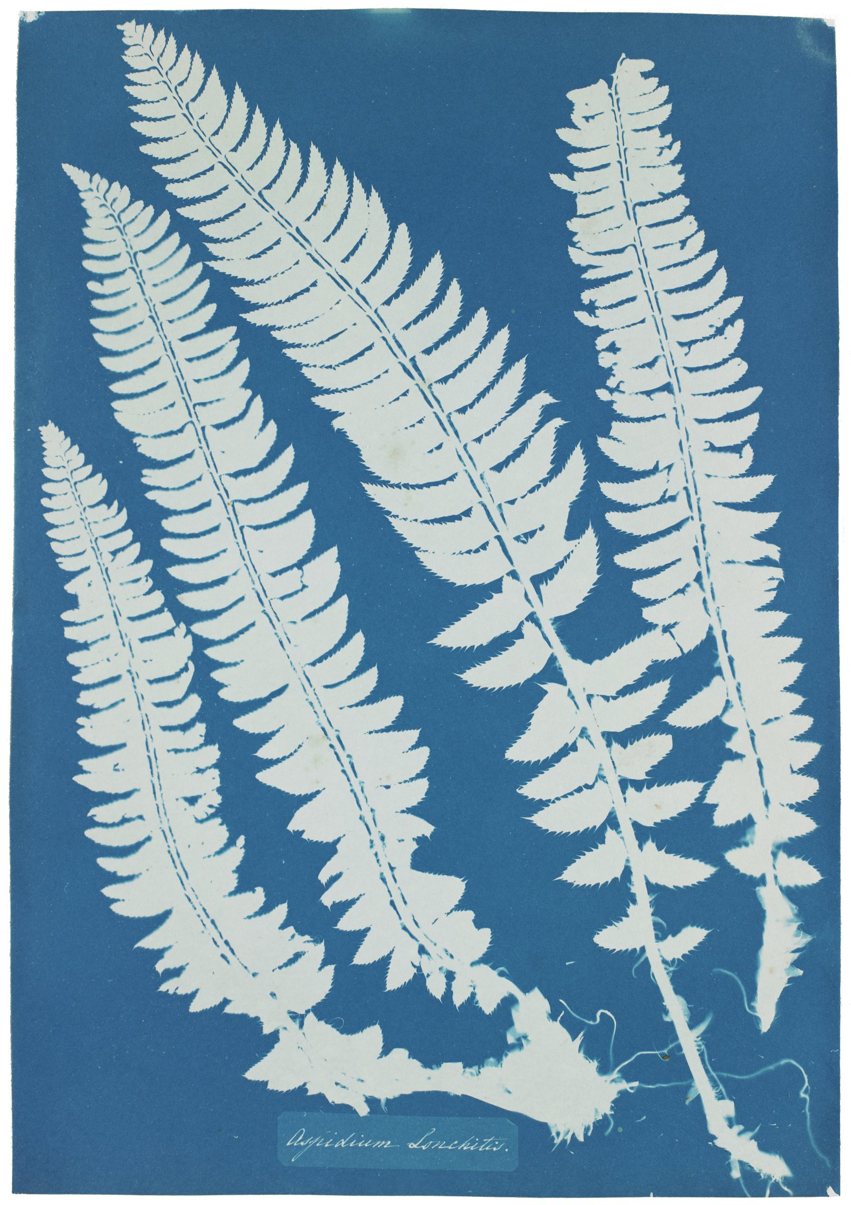 Aspidium Lonchitis, from Cyanotypes of British and Foreign Flowering Plants and Ferns, Anna Atkins, cyanotype