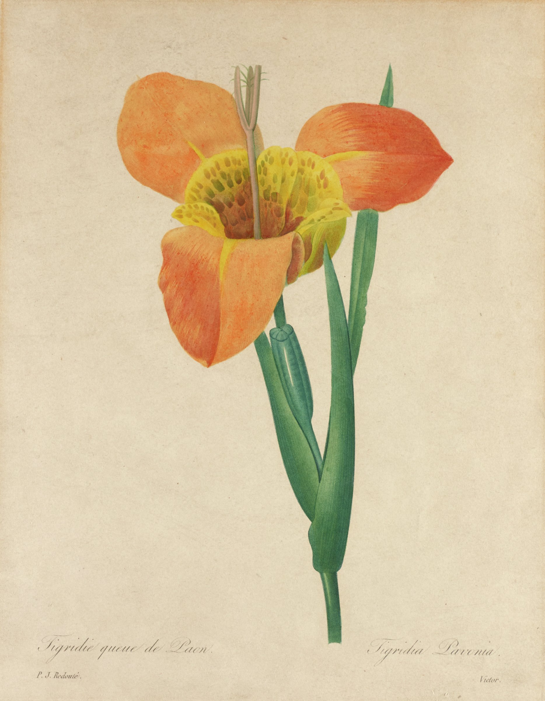 A botanical print depicting an orange and yellow flower with three petals and a thick stem with three leaves.
