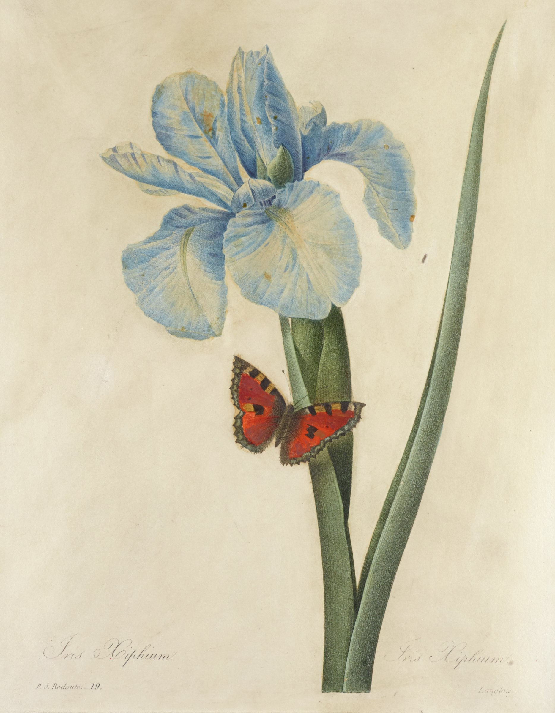 A botanical print depicting a single blue flower with two thick stems. A butterfly rests on the stem beneath the flower.