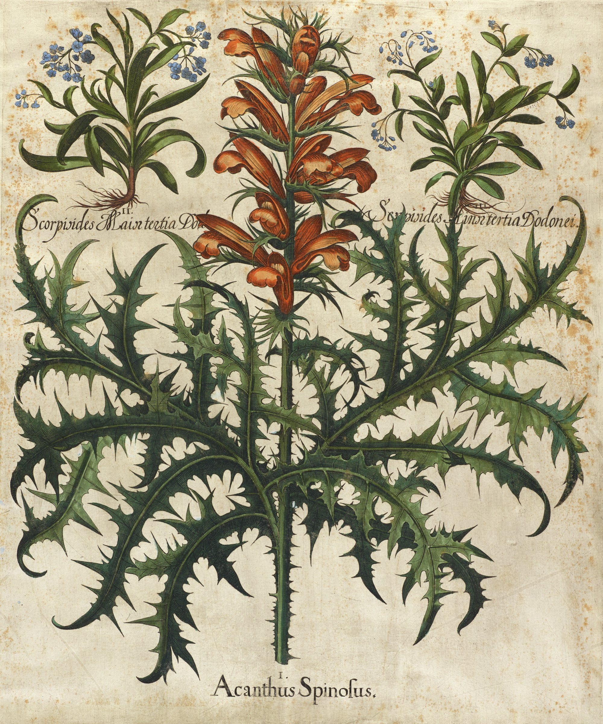 A botanical print depicting a plant with orange flowers and multiple spikey leaves. In the upper left and right are smaller depictions of two different plants with blue flowers and multiple long, smooth leaves.
