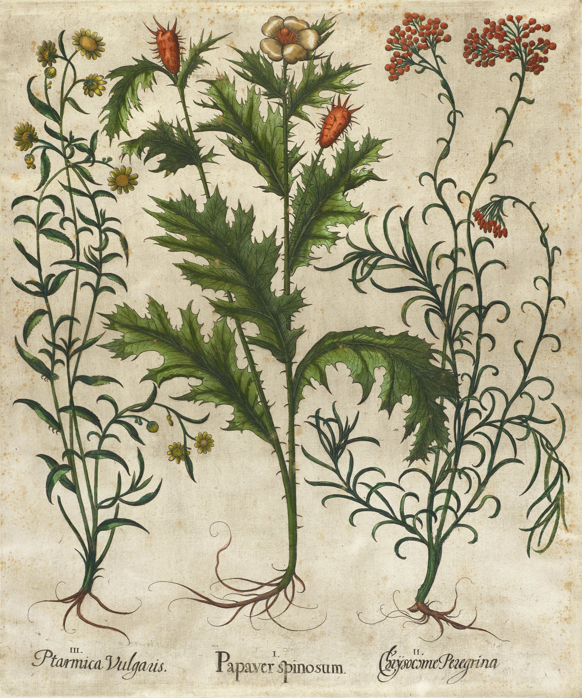 A botanical print depicting three types of plants. On the left, a long, thin stemmed plant with yellow flowers. In the middle, a thick, spikey stemmed with spikey leaves, white flower, and orange spikey buds. On the right, a long, thin stemmed plant with thin curly leaves with red circular flowers.