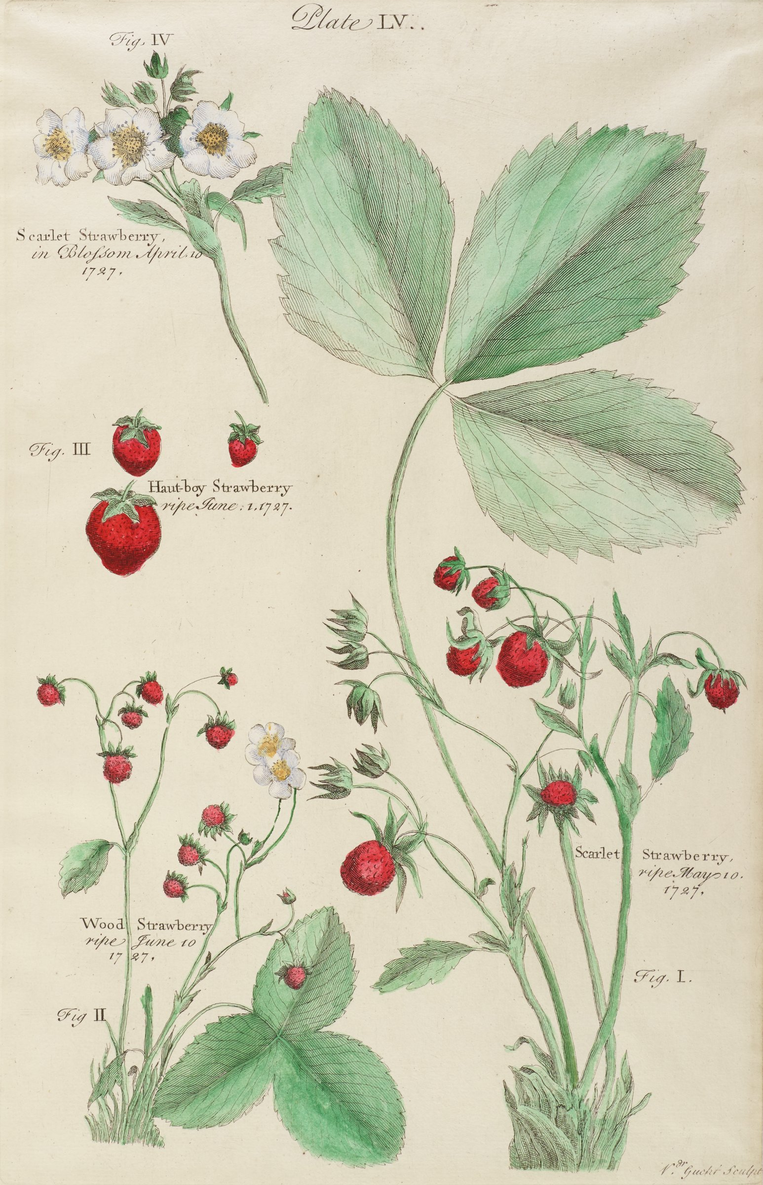 A botanical print depicting three types of strawberry plants. The uppermost plant is seen in blossom while the other three plants are shown in the ripe stage.