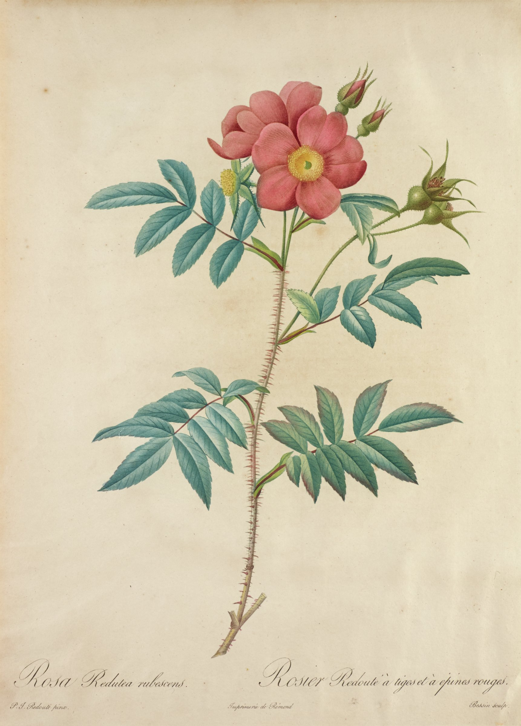 A botanical print depicting two pink flowers in bloom with a yellow center. Several buds grow behind it. The flowers grow from a spikey stem with protruding branches that hold multiple leaves.