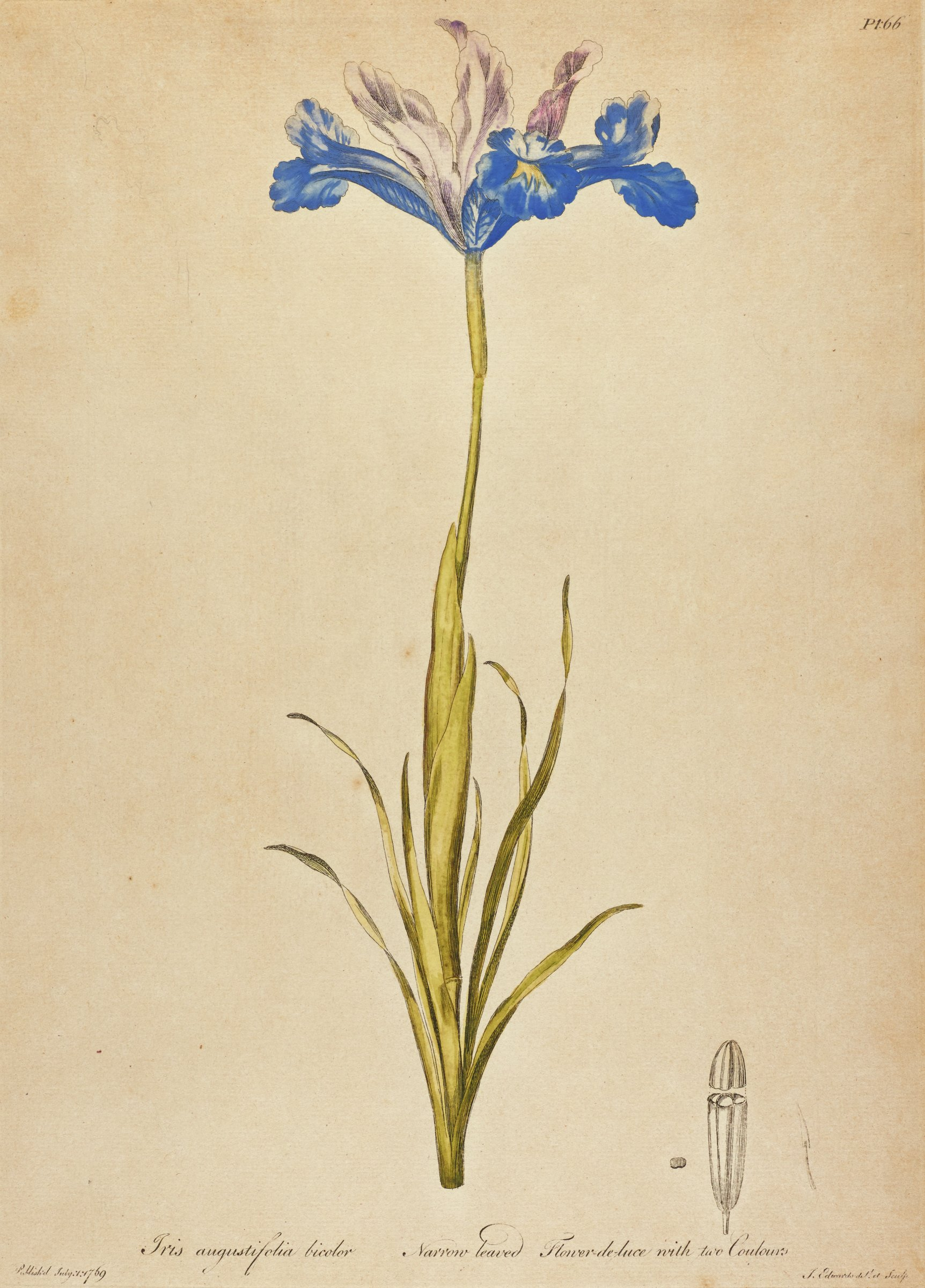 A botanical print depicting a thin stemmed flower with blue and light purple petals. An uncolored image appears in the lower right.