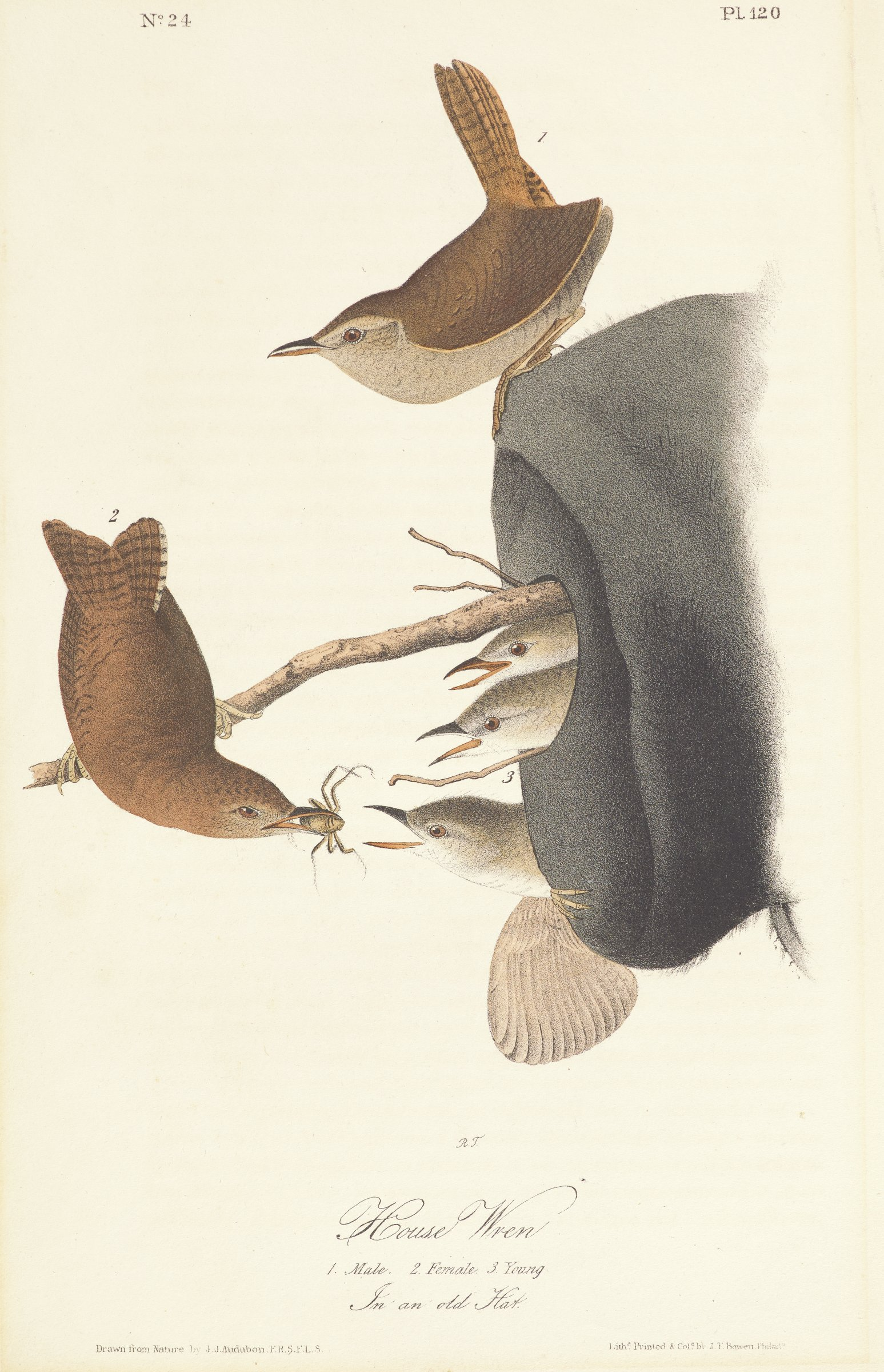 Two adult wrens are depicted with brown feathers on their topside and cream feathers on their underside. The feathers are accented with black markings. The wren on the left feeds an insect from its beak to three young wrens that are covered in white feathers with black markings.The young wrens pop their heads out of an opening on a black hat, which is being used as a nest.