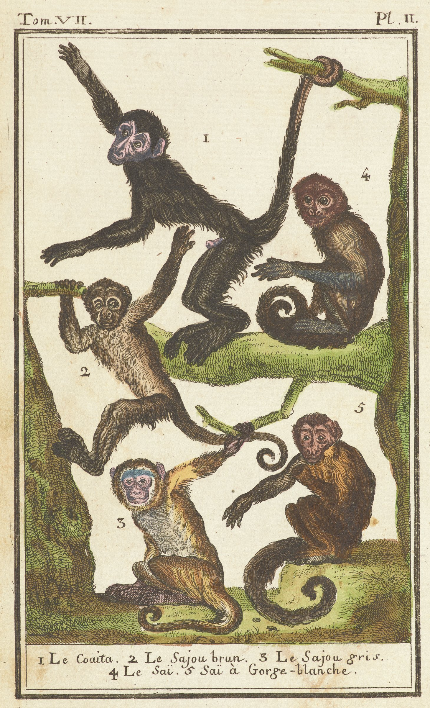 Five monkeys with long curling tails are depcited. They vary in color from black, brown, and yellow.