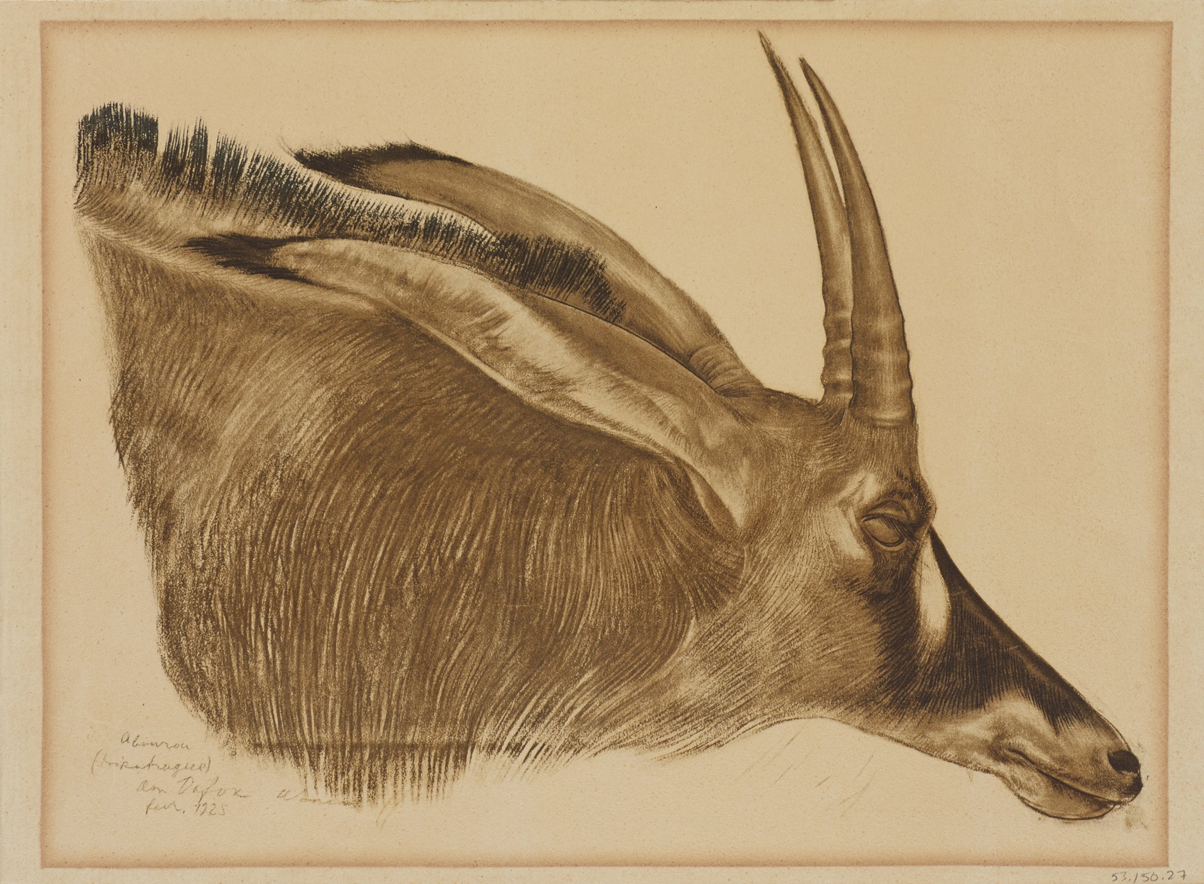 The head of an antilope is is seen in profile with closed eyes. The image is oriented sideways. This series is a product of Jacovleff's involvement in the Expédition Citroën Centre-Afrique.