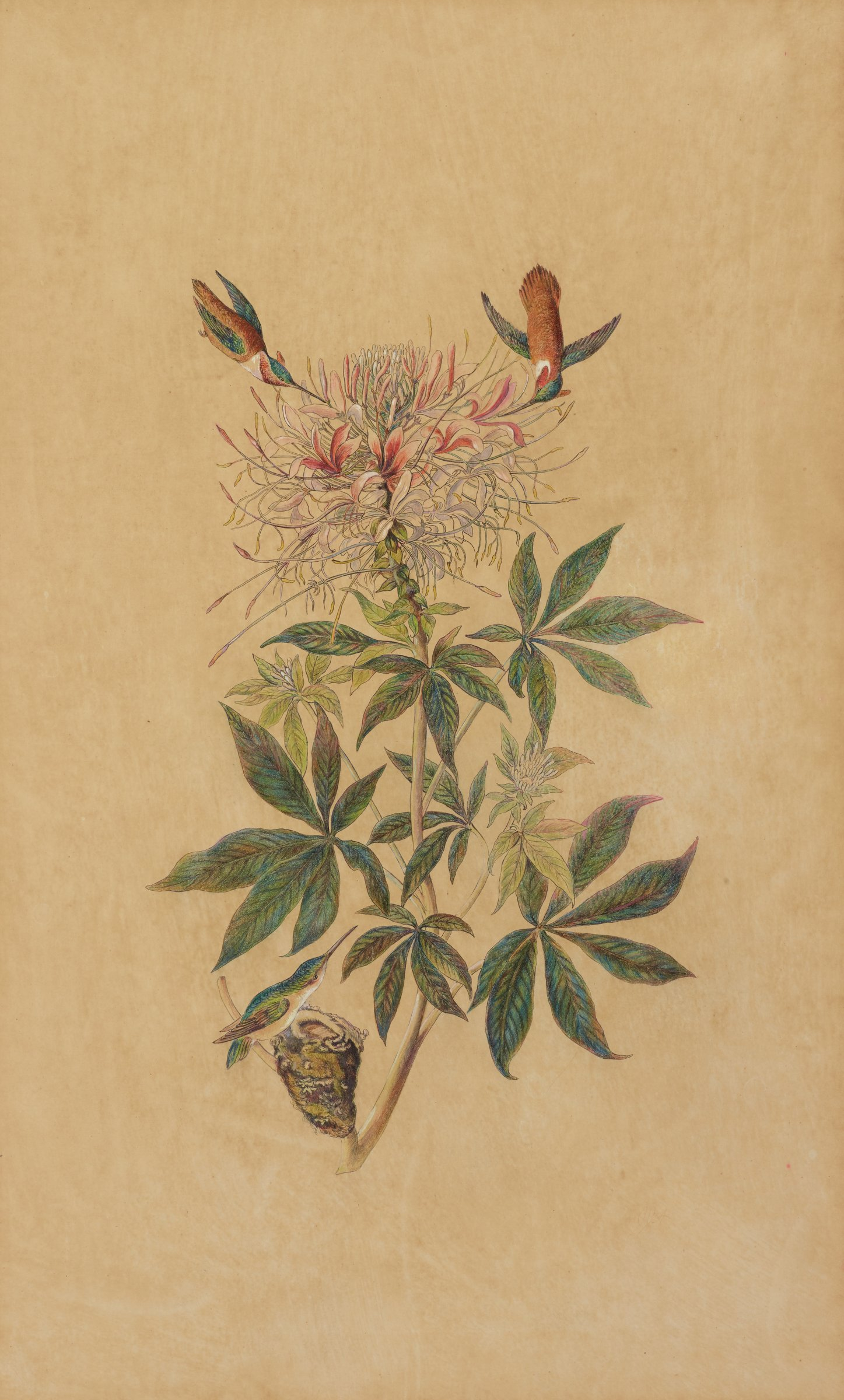 Three hummingbirds surround a flowering pink and white plant with this petals. Two of the hummingbirds hover above the flower with their beaks nestled between the petals. The third hummingbird rests on a nest near the bottom of the composition with its head tilted upwards.