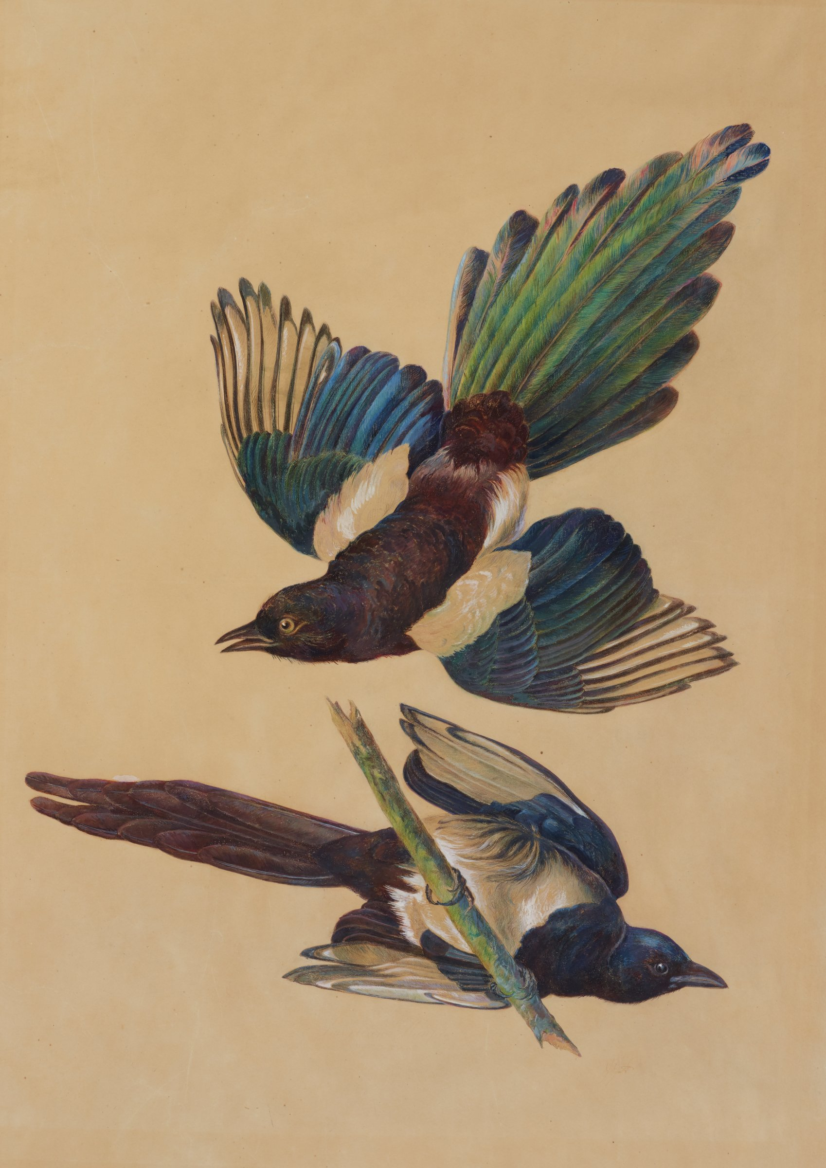 Two black-billed magpies are shown, one with wings fully expanded, and another sitting on a tree branch with its stomach to the viewer. The bodies are primarily covered with black and white feathers. The tails and wings contains green, purple, and green feathers with an iridescent-like sheen.