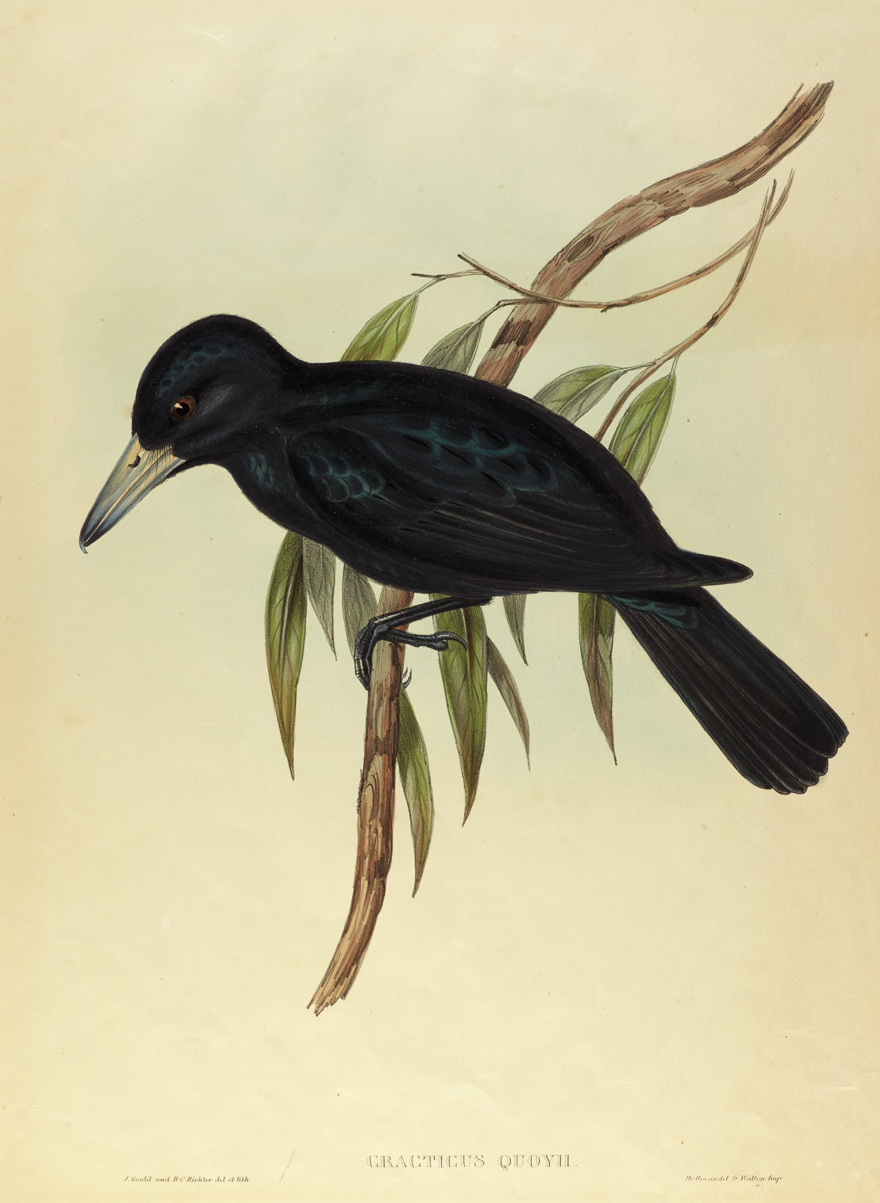 A large black bird with a narrow hooked beak sits on a branch with thin leaves.