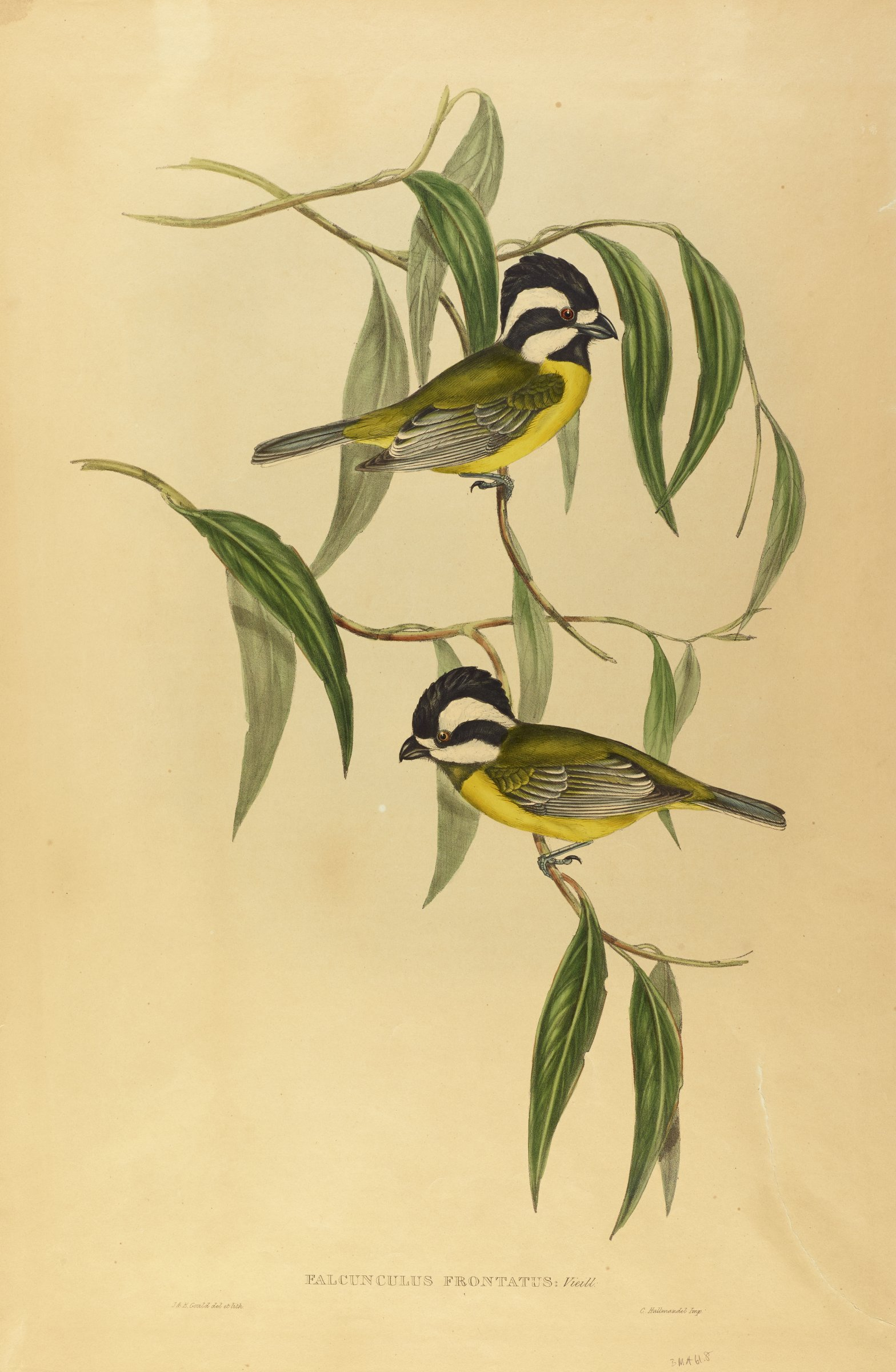 Two small yellow, black, and white birds sit on thin branches that hold thin draping leaves.