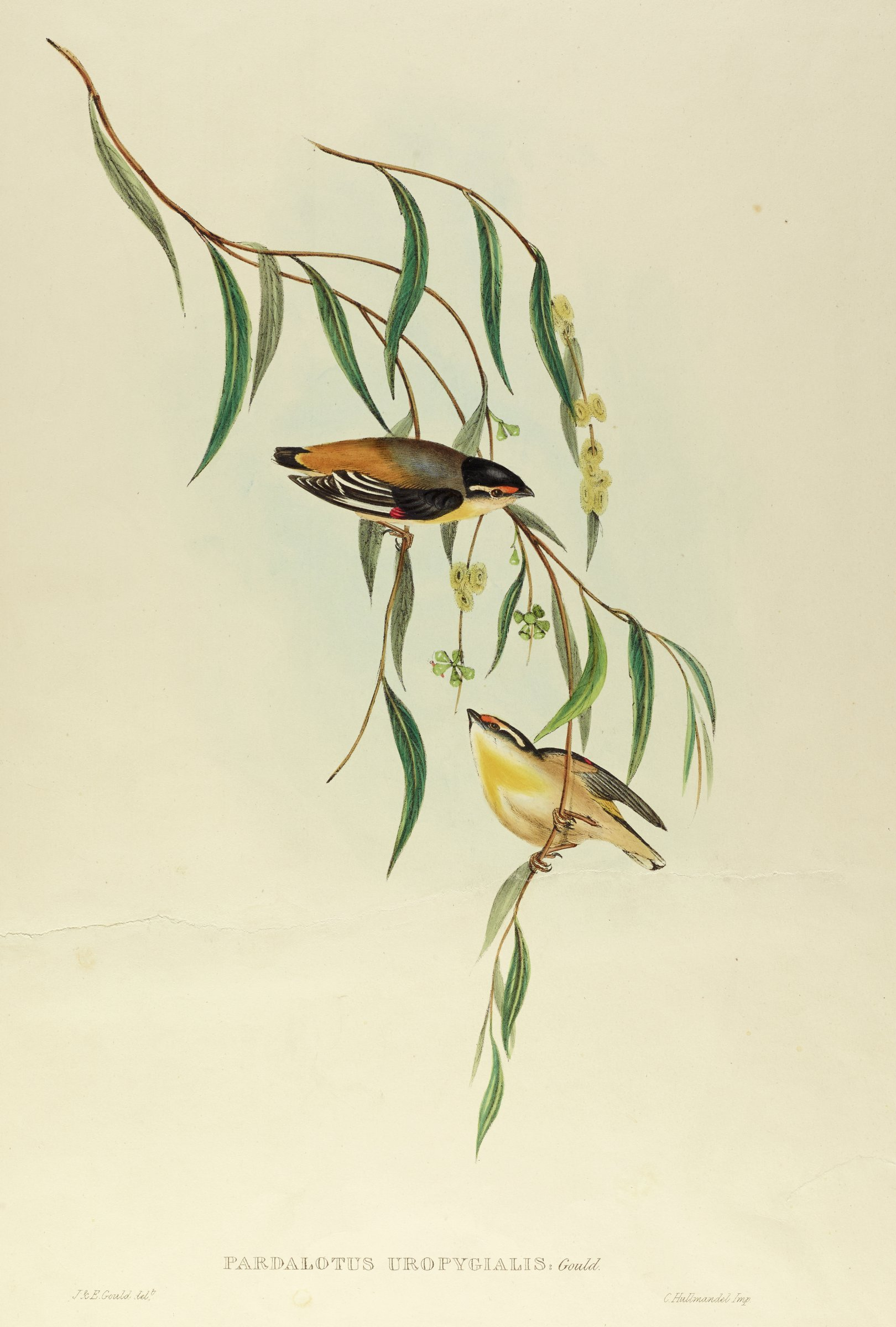 Two small yellow, black, white, orange, and red birds sit on thin branches that hold thin leaves. Small yellow flowers blossom on the branches.