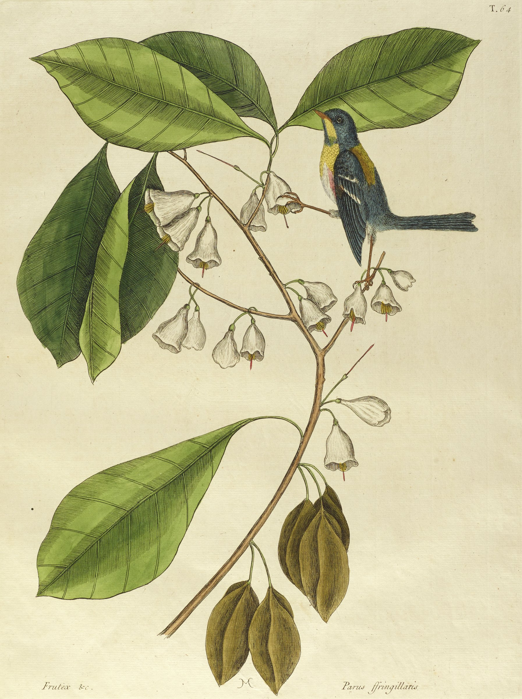 A black, yellow, white, and red bird stands on the thin branch of a plant with big green leaves a small white bow-shaped flowers.