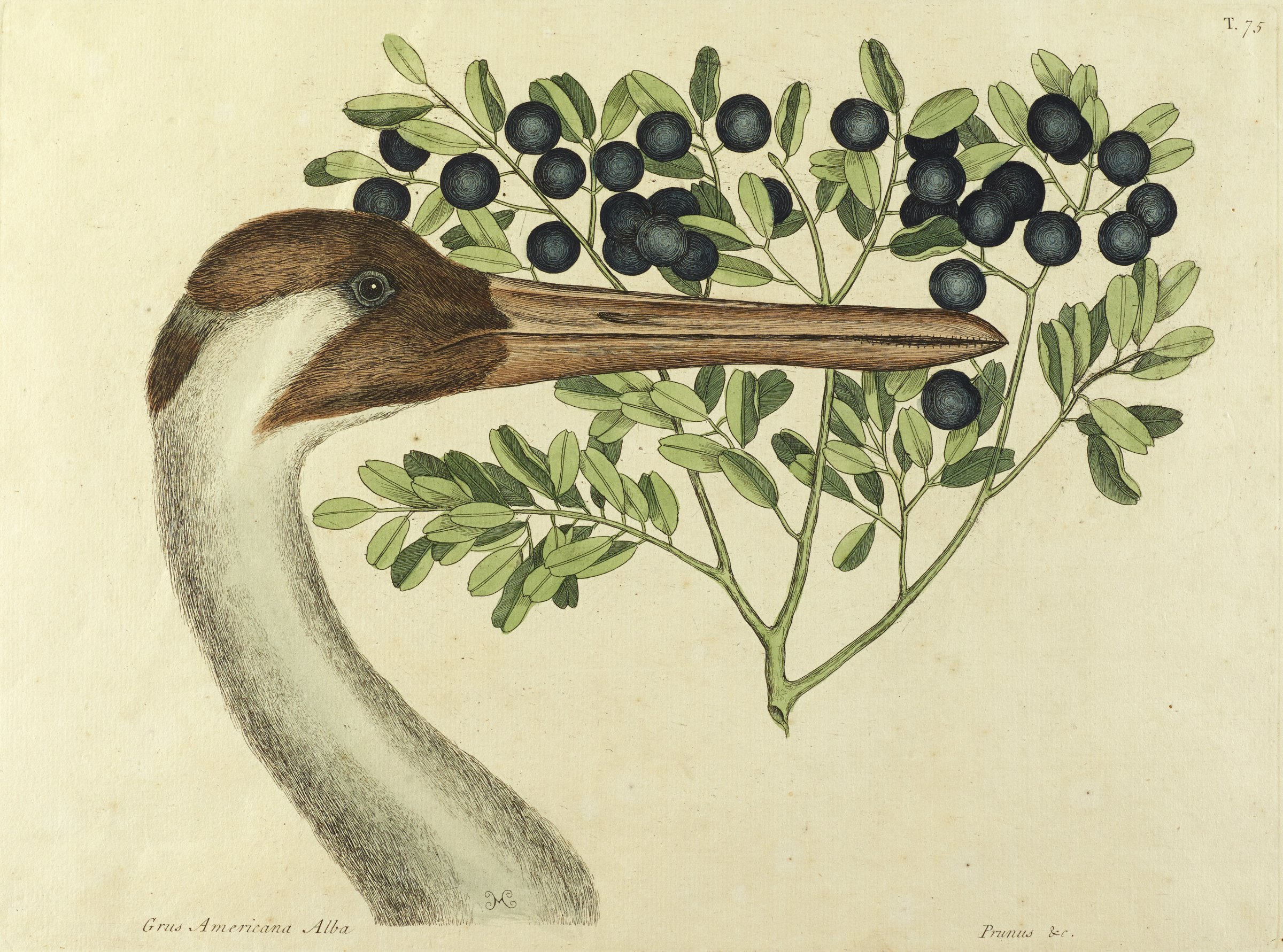 A bird with a long beak stands in profile view in front of a plant with short green leaves and a blue, round fruit.