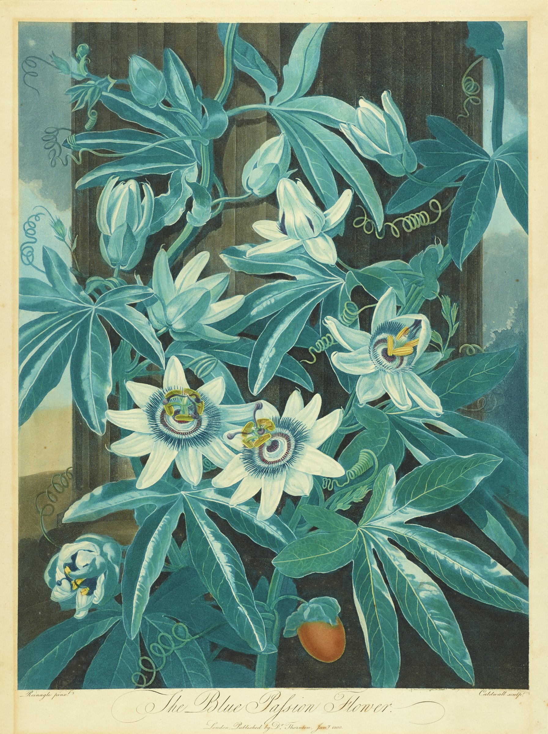 Plant with white blossoms and buds in various stages in front of a fluted column.