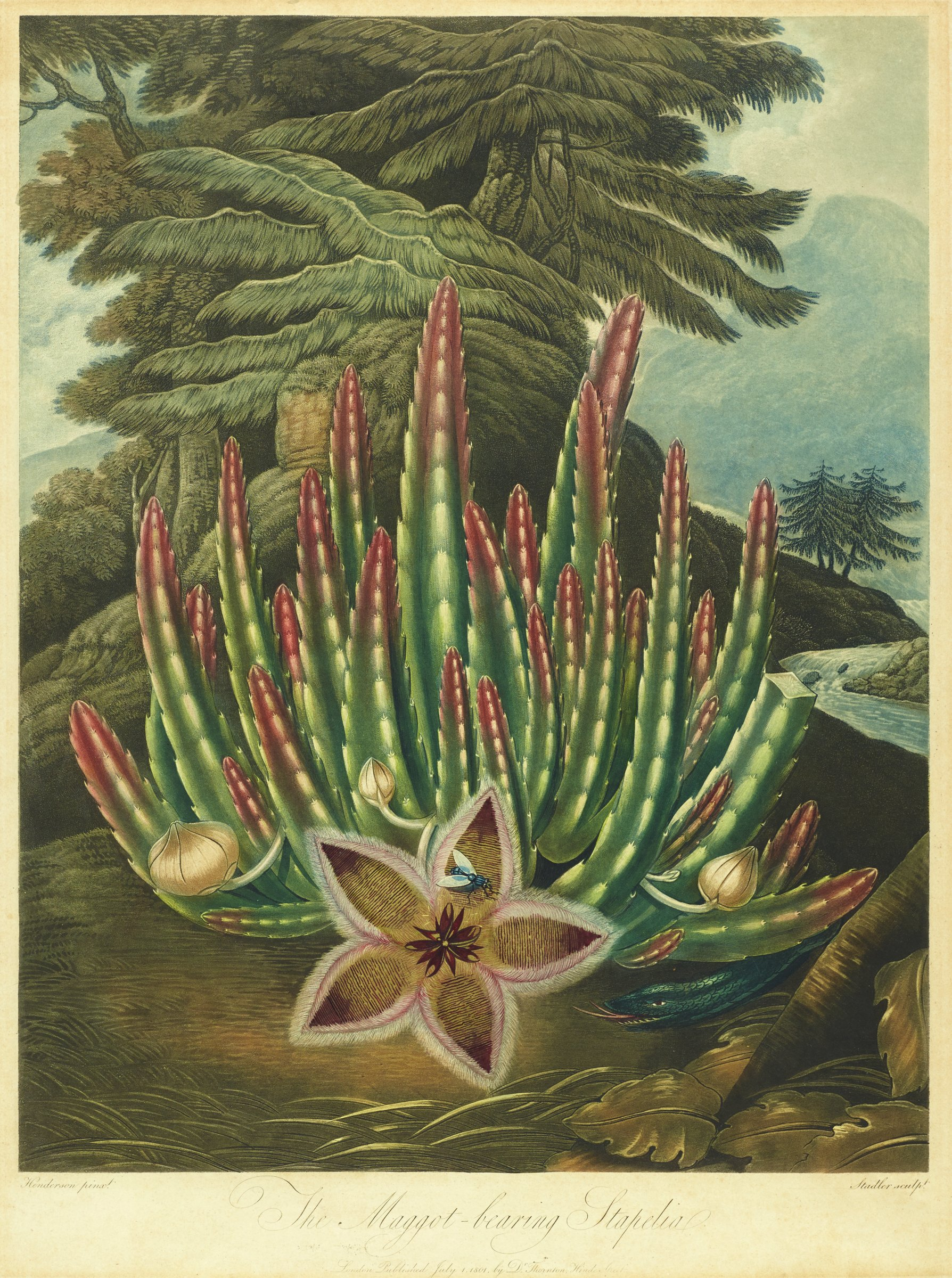 The Maggot-bearing Stapelia, from The Temple of Flora, Peter Charles Henderson, Printed by Joseph Constantine Stadler, Published by Robert John Thornton, aquatint, stipple, line, hand-colored