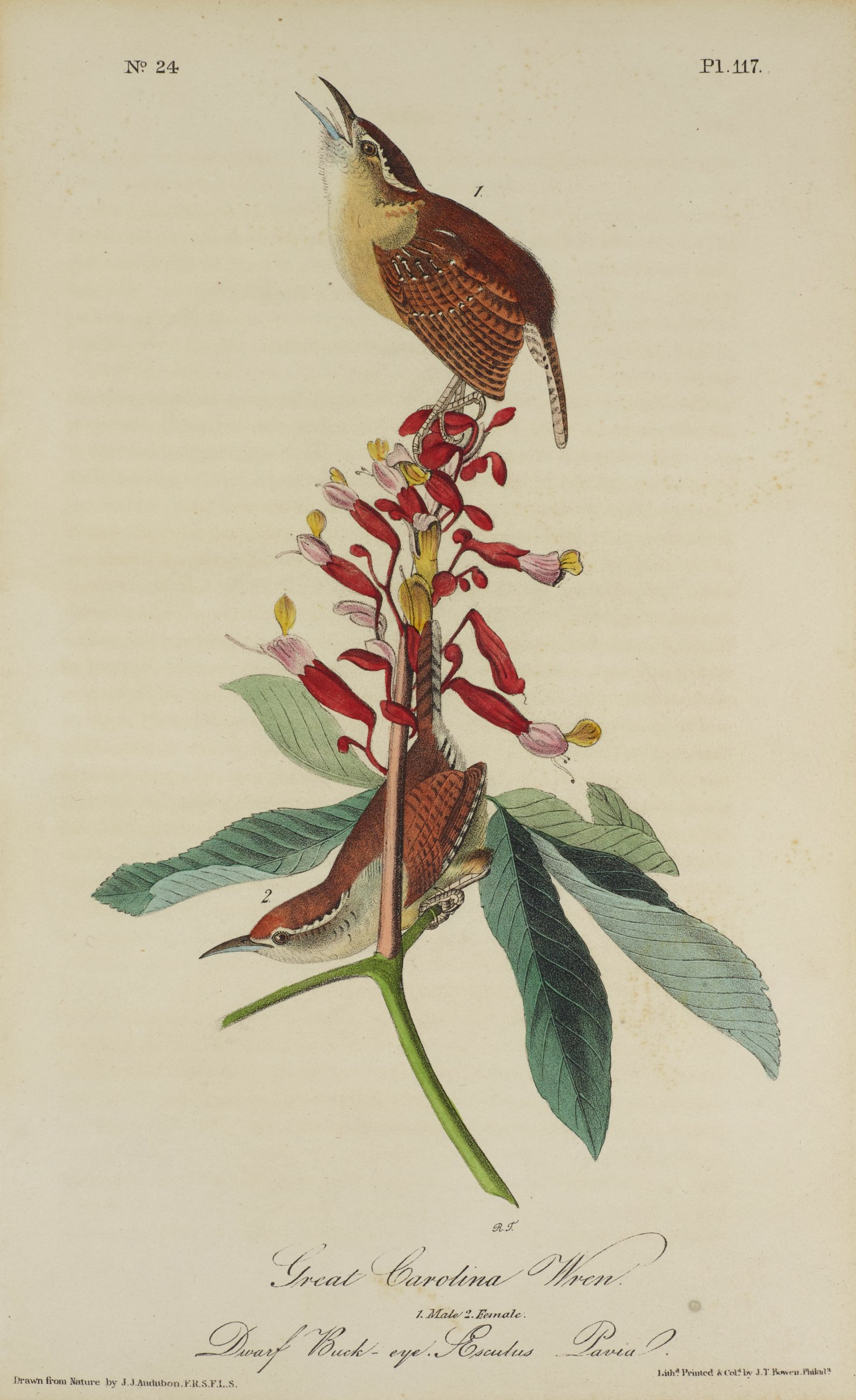 Two wrens are depicted with brown feathers accented by black and white feathers. The lower wren stands on a thin green stem beneath a flowering pink and red plant. The upper bird stands on top of this plant.