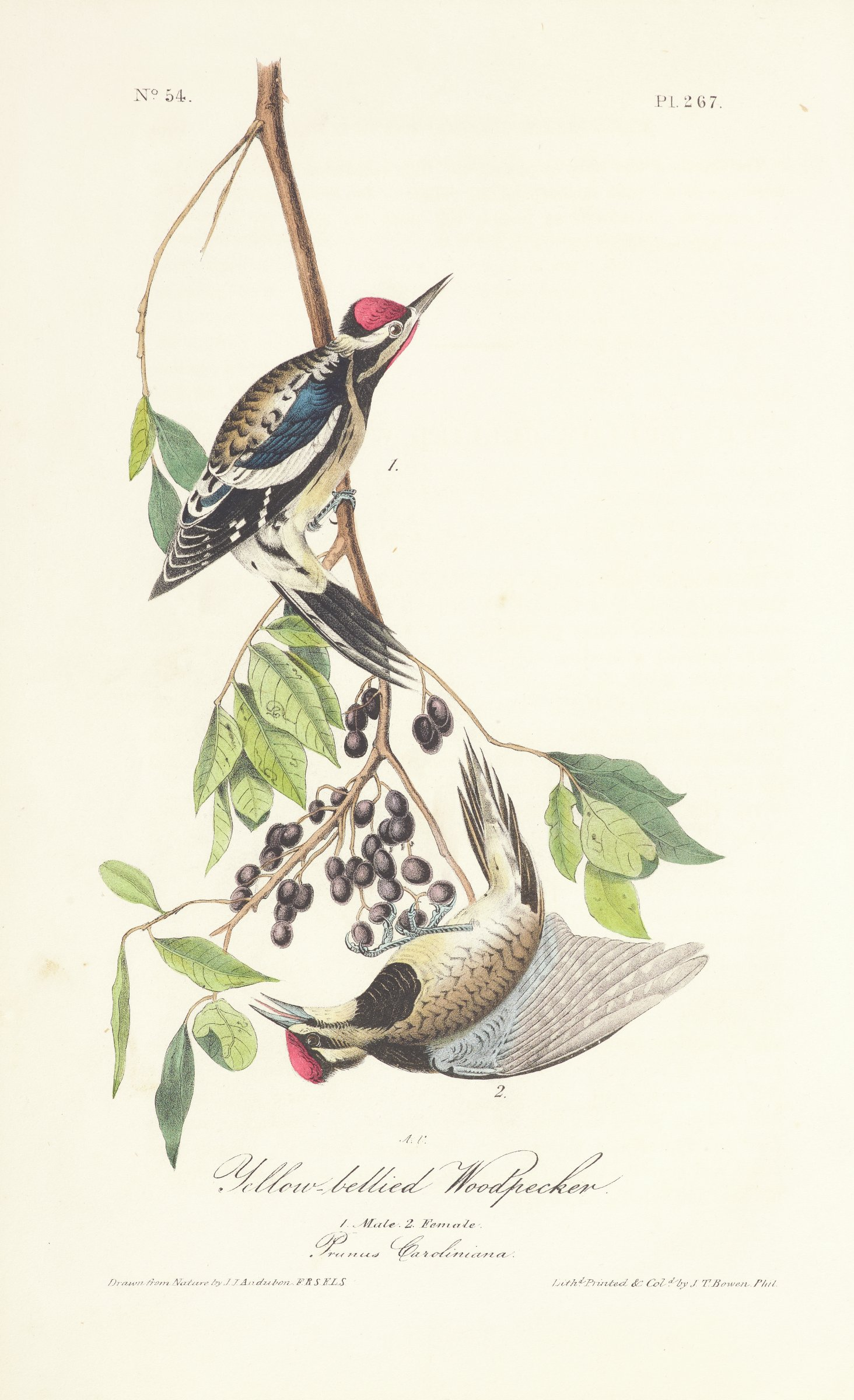 Two woodpeckers are depicted on a thin branch that produces pointed oval leaves and black berries. The woodpeckers are characterized by red feathers on their heads and brown, black, and white feathers on their bodies. The upper woodpecker also contains red feathers on its neck.