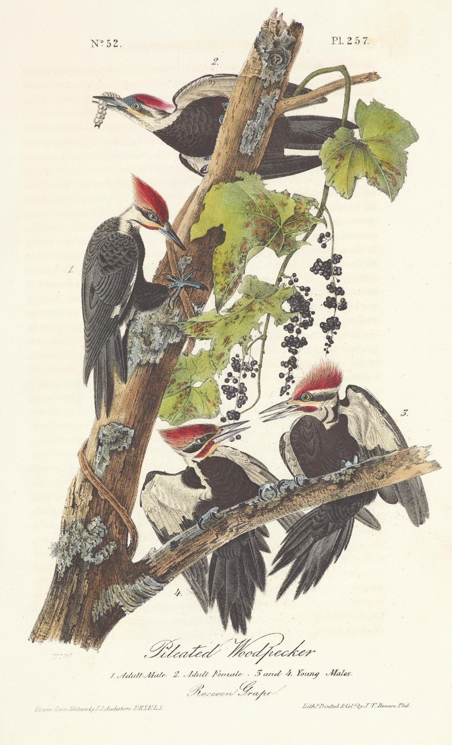 Four woodpeckers are depicted on a tree branch producing multi-pointed leaves and small, black berries. The woodpeckers are characterized by raised red feathers on their heads with thick black and red bands on each side of their faces.Their bodies are covered primarily in black feathers with white on their necks and underside of their wings.