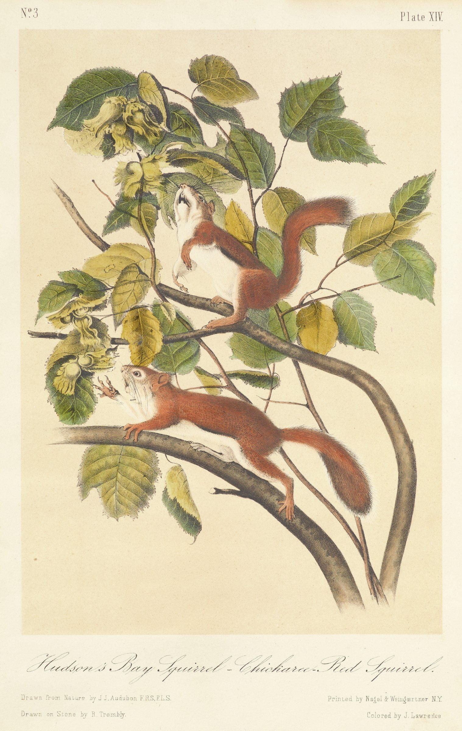 Two squirrels are depicted within a tree that produces serrated edge leaves and yellowish green blossoms. The lower squirrel reaches out to grab one of the blossoms.